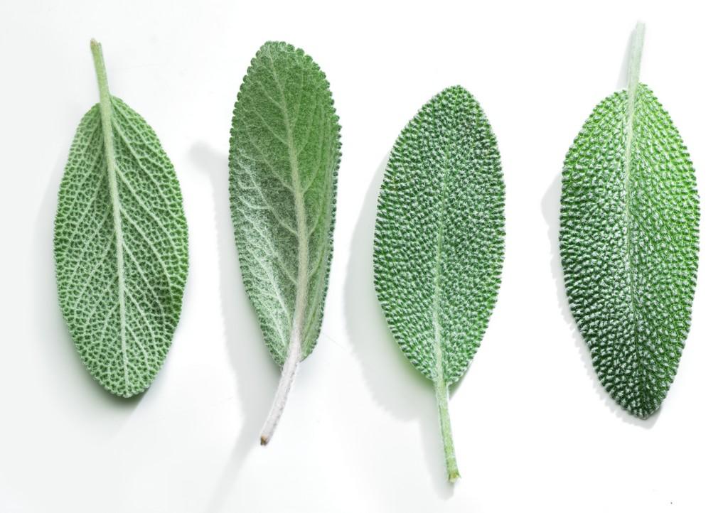 foglie salvia